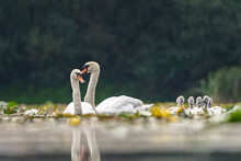Mute Swan (Cygnus Olor) Bird Family With Cygnets Swimming Together In Lake.
