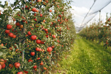 Reife Apfelbäume Am Bodensee