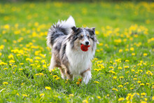 Blue Merle Shetland Sheepdog Sheltie With Old Red Ball In Mouth.