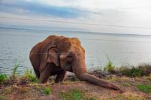 Sri Lankan Elephant Katharagama Road