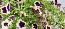 Flowers Of Early Autumn. A Small Flower Bed With Petunia.