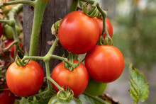 Homegrown Ripening Tomatoes On Vines In Garden