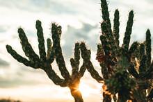 Cane Cholla Cactus At Sunset
