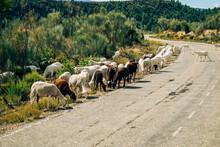 Cabras (Capra Aegagrus Hircus) Cerca De La Carretera Para Pastar