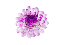 Beautiful White Dahlia Close-up Floral Background.