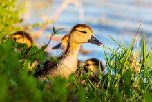 Muscovy Duckling In The Grass