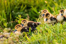 Muscovy Ducklings Heading Towards The Water Through Long Grass