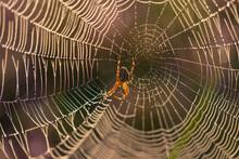 Close-up Of An European Garden Spider (cross Spider, Araneus Diadematus) In Its Cobweg With Dewdrops In Backlit