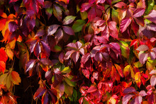 Virginia Creeper Leaves. Bright Autumn Red Leaves. Natural Background. The Wall Covered With Climbing Vine
