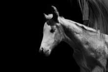 Bald Face Colt Foal Horse On Black Background With Copy Space.