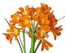 Clivia, A Large Orange Flower On A White Background.