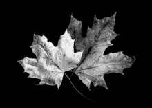 Laying Of Fallen Leaves In Black And White Mother Nature Resumes It's Right When Autumn Arrives, The Trees Are Stripping Their Dead Leaves