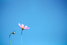 Pink Cosmos Flowers Blooming On Bright Blue Sky Background