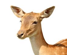Dappled Deer On White Background