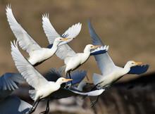 Graceful Synchronised Motion Of Cattle Egret Flock Taking Off.