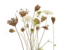 Daucus Carota Autumn Flowering Dry Wild Grasses Or Herbs Isolated On White Background. Autumn Meadow Flowers With Umbels Wildflowers And Plants.