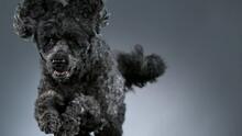 Slow Motion Shoot Of Black Standard Poodle Jumps Towards The Camera, 1000 Fps.