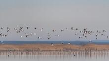 Many Wild Geese Flying Against The Sky. Common Shelduck Tadorna Tadorna