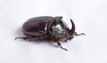 The European Rhinoceros Beetle Or Oryctes Nasicornis.