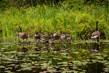 Family Of Canada Geese Standing In A Line On A Log In Algonquin Park.