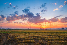 The Sunset On The Rice Field. Sunset Over A Field Photo