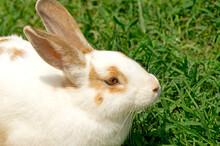 Brown White Spotted Rabbit On Green Lawn