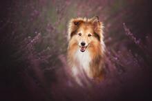 Shetland Shepherd Portrait On A Lavender Field, Summer Time, Flowers