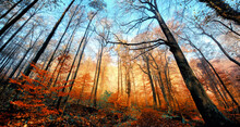 Autumn Scenery In A Deciduous Forest, With A Row Of Red Foliage Illuminated By The Sunlight And Bare Trees Towering Into The Clear Blue Sky