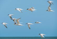 Flying Seabirds. The Roseate Tern (Sterna Dougallii) Is A Tern In The Family Laridae.