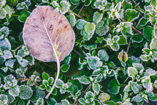 Dry Autumn Leaf On Green Leaves Of Grass Covered Rime In Cold Autumn Morning, Top View Close Up