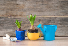 Spring Gardening Concept; Young Plants Of Hyacinths, Blue Watering Can And Gardening Equipments On Wooden Background