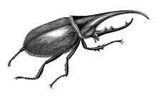 Stag Beetle Hand Draw Vintage Engraving Style Black And White Clipart Isolated On White Background