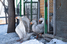 White Goose In A Cage