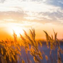 Closeup Prairie Grass In Light Of Evening Sun