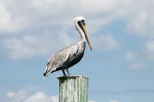 Pelican On A Pole