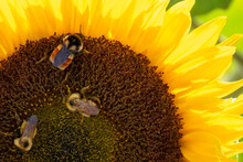 Multiple Honey Bees Perched On The Tiny Blossoms In The Center Of A Vibrant Bright Sunflower Filled With Seeds. The Bees Are Collecting Pollen For Honey. The Ray Florets Of The Sunflower Are Yellow.