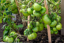 A Bunch Of Unripe Large Green Tomatoes Hanging On A Vine Ripening Being Held Up. There Are Large Deep Green Leaves With Deep Veins On The Cultivated Branch Of Homegrown Produce Of Raw Beef Tomatoes.