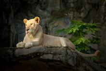 White Female Lion Resting On Rocks.