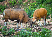 Banteng (Bos Javanicus) Or Southeast Asian Bull, Red Bull In Rainforest Of Thailand.