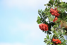 Rowan In Autumn With Red Berries.