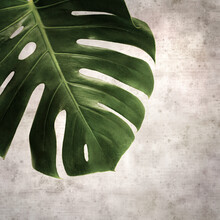 Stylish Textured Old Paper Square Background With Dark Green Leaf Of Monstera Plant