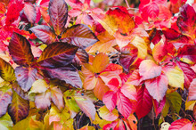Colorful Leaves Background, Autumnal Pattern Concept