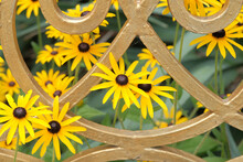 Yellow Flower, Rudbeckia (Coneflower). The Species Are Commonly Called Coneflowers And Black-eyed-susans.Rudbeckia (Coneflower) In The Garden Behind A Wrought Iron Trellis