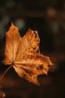 Klonowy liść jesienią