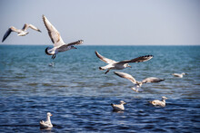 Flying And Swimming Seagulls