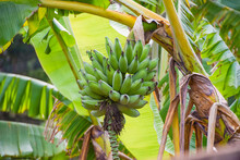 Bananas Growing On A Tree In Zimbabwe