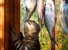 The Cat Wants To Eat The Fish That Is Drying On The Rope.
