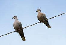 Two Eurasian Collared Doves Perched On A Wire