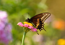 Ventral View Of A Male Eastern Black Swallowtail Butterfly Feeding On A Pink Zinnia In Summer Garden