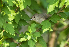 Young Tufted Titmouse Peeking Out From Behind Leaves In A Large Hibiscus Bush